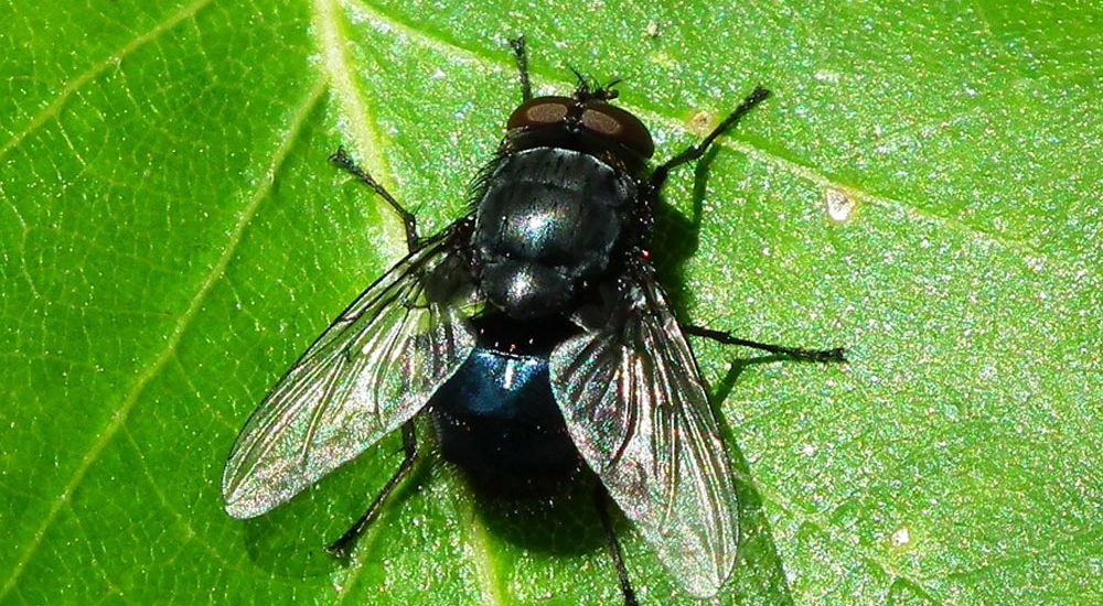 Fly pest control
