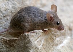 Mice pest control and prevention in Edinburgh & Lothians